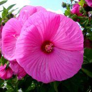 Гібіскус садовий Fantasia фото