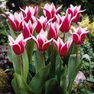 Тюльпан Akita фото
