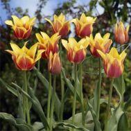 Тюльпан Ballade Dream фото