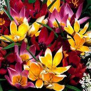 Тюльпан Ботанічний Мікс 100 фото