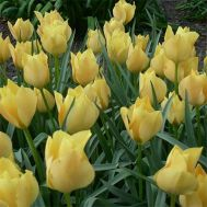 Тюльпан Bright Gem фото