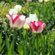 Тюльпан Mata Hari фото
