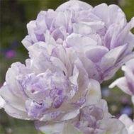 Тюльпан Normandie фото