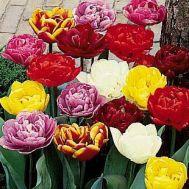 Тюльпан Подвійний Мікс 100 фото