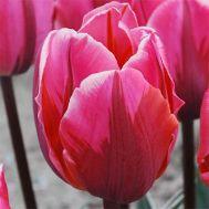 Тюльпан Pretty Princess фото