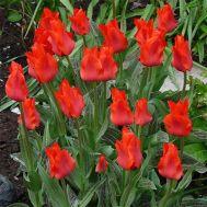 Тюльпан Red Riding Hood (горщик 9 см) фото
