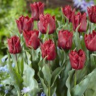 Тюльпан Robinho фото