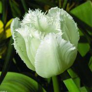Тюльпан Signature фото