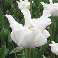 Тюльпан White Liberstar фото
