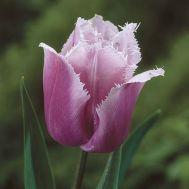 Тюльпан Canova фото