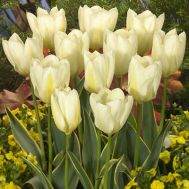 Тюльпан Purissima Design фото