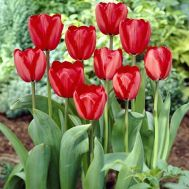 Тюльпан Red Impression фото