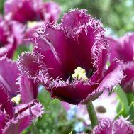 Тюльпан Traveller фото