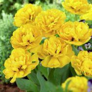 Тюльпан Yellow Pomponnet фото