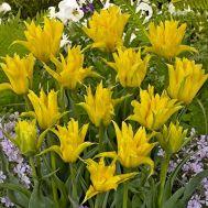 Тюльпан Yellow Spider фото