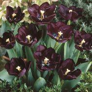 Тюльпан Paul Scherer 50 фото