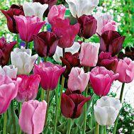 Тюльпани Олімпійский Мікс фото