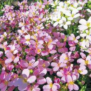 Арабіс Весняний Шарм фото