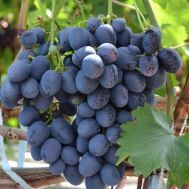 Виноград Айваз фото