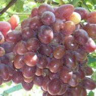 Виноград Атаман фото