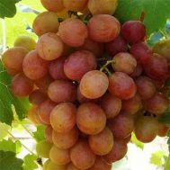 Виноград Лівія фото