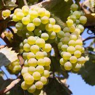 Виноград  Ркацетелі фото