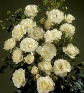 Троянда Waltz фото