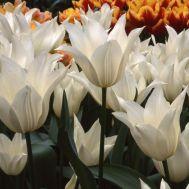 Тюльпан White Elegance фото