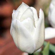Тюльпан White Prince фото