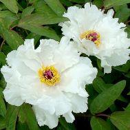 Півонія White Phoenix Feng Dan Bai деревовидна  фото