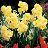 Нарцис Yellow Cheerfulness фото