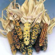 Кукурудза Amero фото