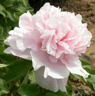 Півонія Пион Zhaos Pink Zhao Fen деревовидна  фото