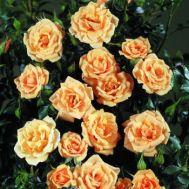 Троянда плетиста Zorba фото