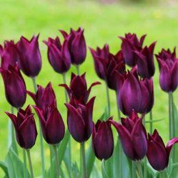 Тюльпан Burgundy фото