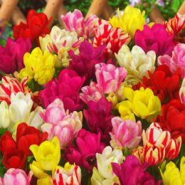 Тюльпан Сімейні Мікс фото