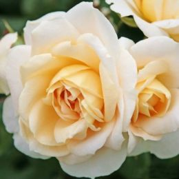 Троянда Lions Rose фото