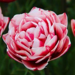 Тюльпан Gerbrand Kieft фото