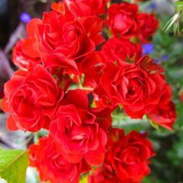 Троянда Scarlet Meillandecor фото