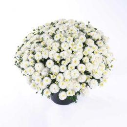 Хризантема White Swan фото