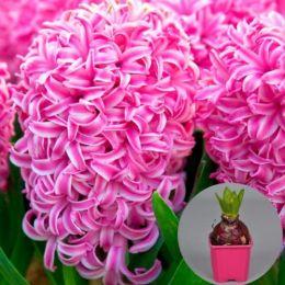 Гіацинт Pink Pearl (горщик 7 см) фото
