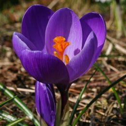 Крокус Flower Record фото