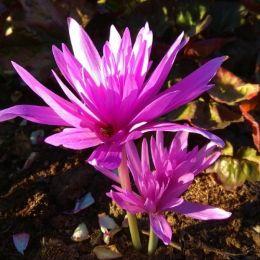 Пізньоцвіт Waterlily фото