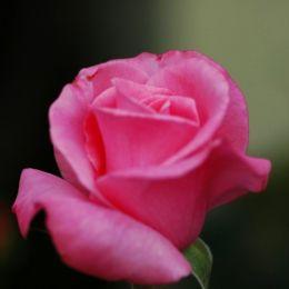 Троянда Pink Ocean фото
