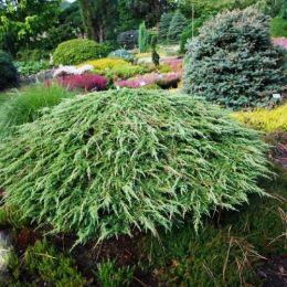Ялівець Green Carpet фото