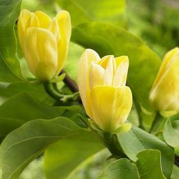 Магнолія Yellow Bird фото