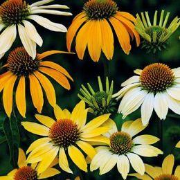 Ехінацея Mellow Yellow фото