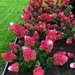 Гортензія Strawberry Blossom фото