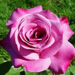 Троянда Blues фото