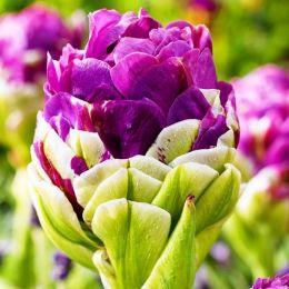 Тюльпан Exquisit фото
